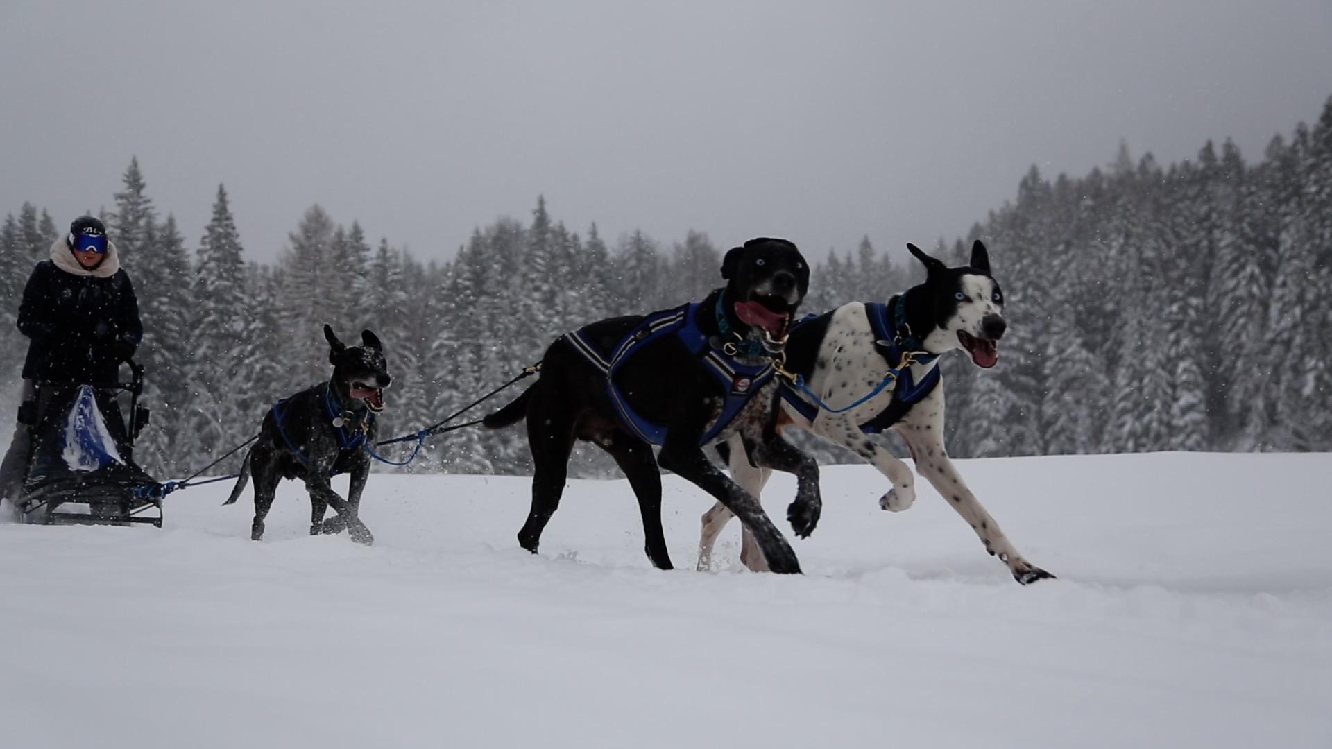 Hunde powern sich beim Schlittenfahren aus, in Mösern gibt es dazu Workshops