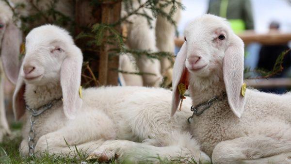 Schafe stellen sich der Miss-Wahl