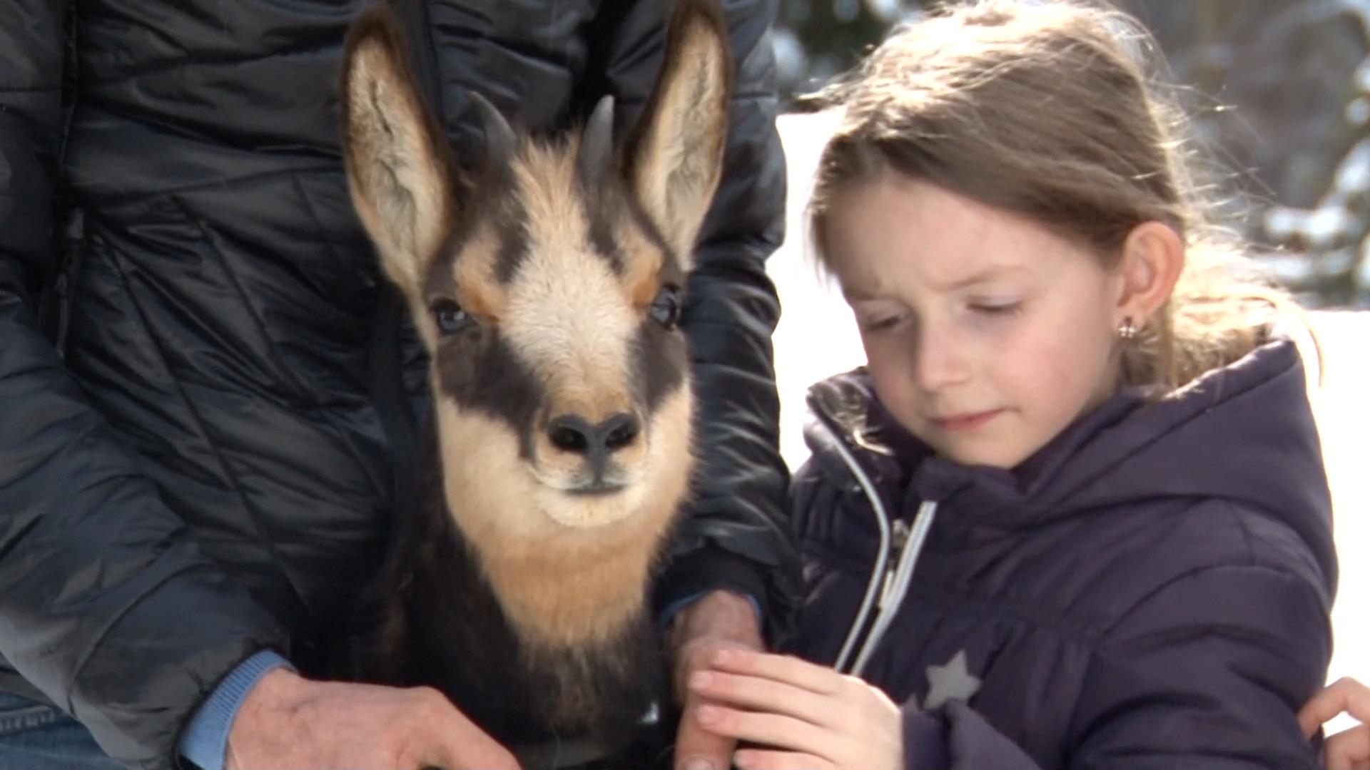 """Familie Astner rettet Gamsbock """"Bocki"""" vor dem Verhungern"""