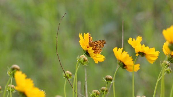 So können die Schmetterlinge in Tirol gerettet werden