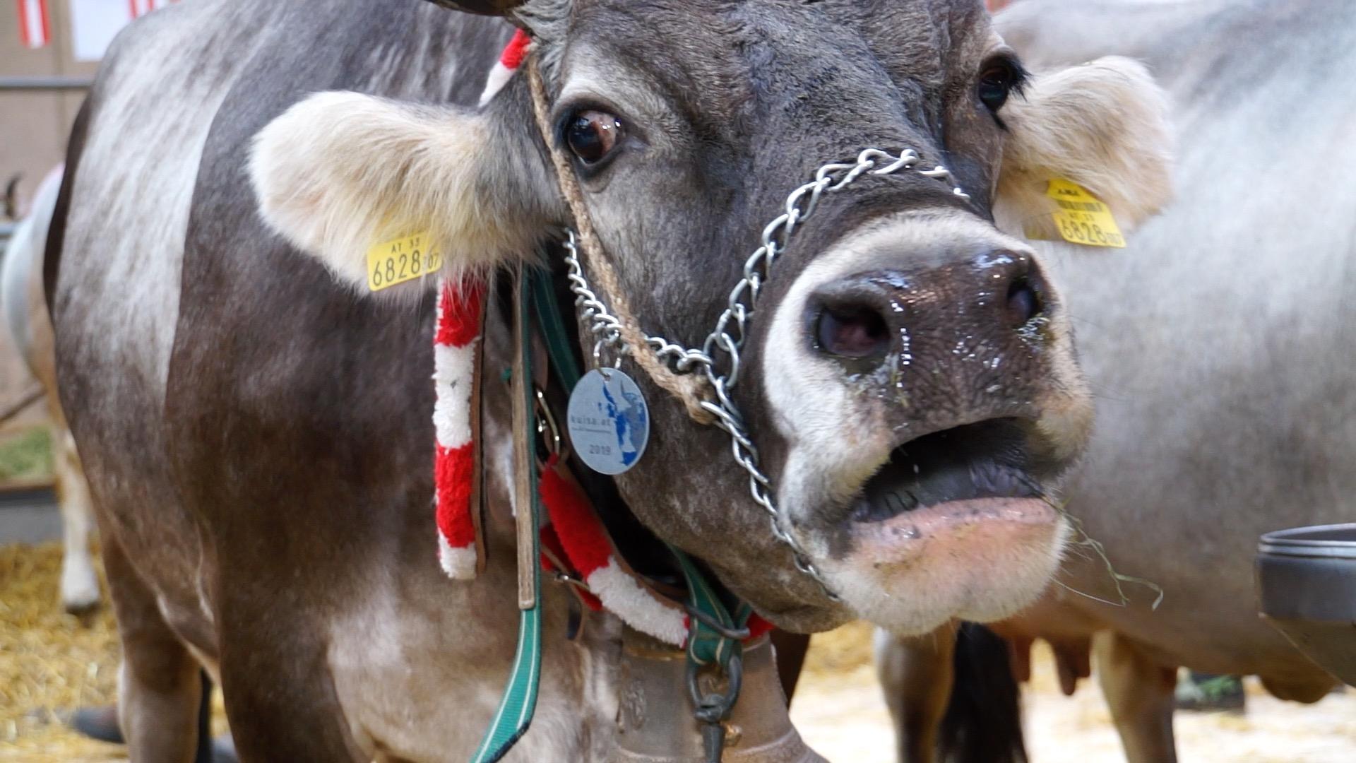 Das Tiroler Grauvieh als Inbegriff von Regionalität