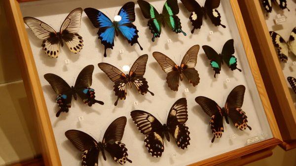 Allerhand aus'm Tyroler Land: Schmetterlingssammler Albert Haller
