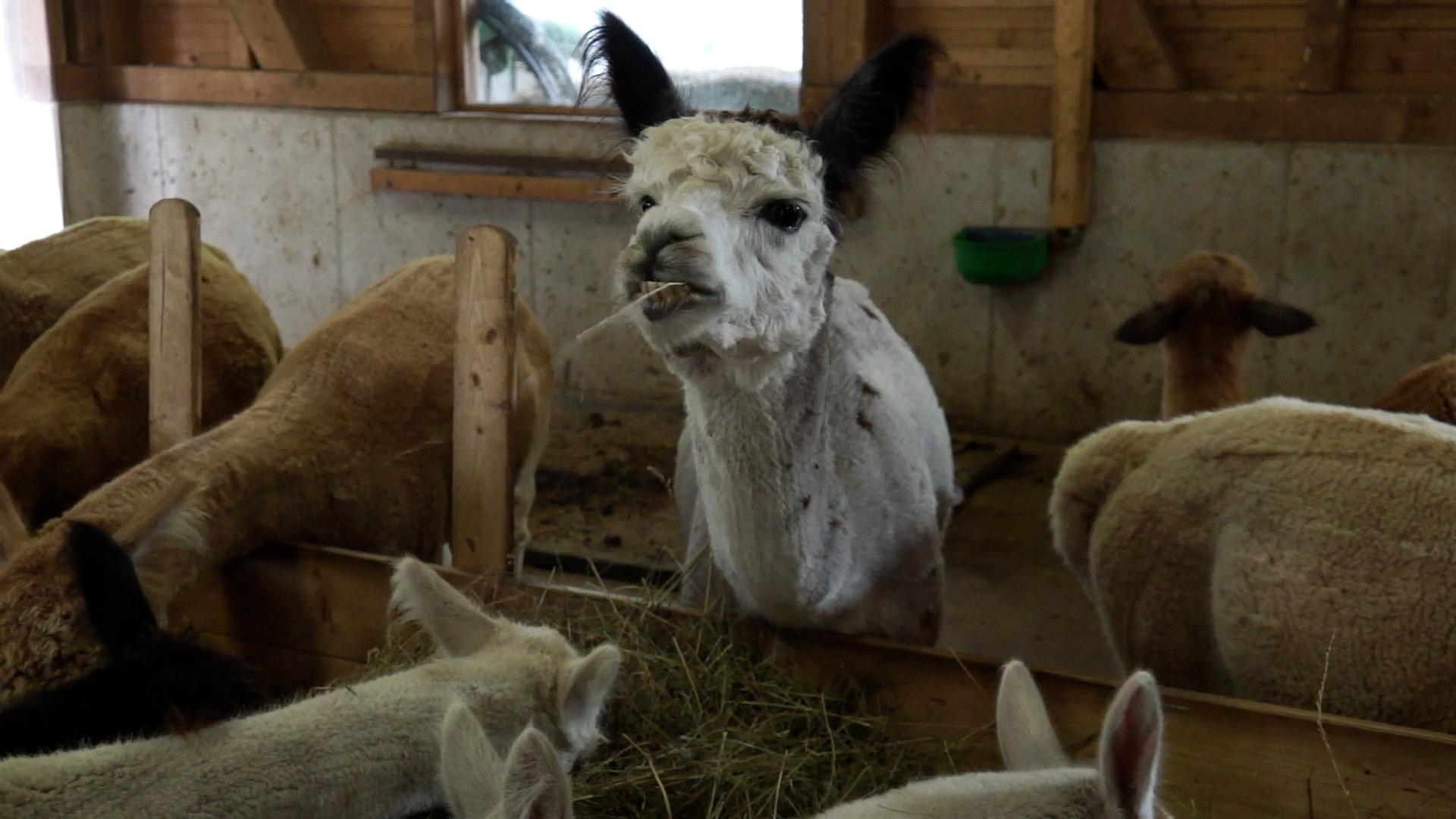 Tourismussendung: Zu Besuch bei den Alpakas