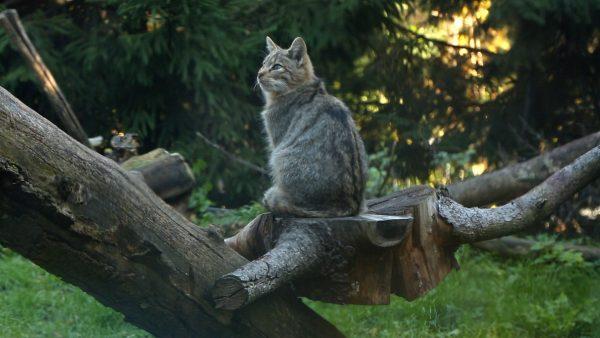 Wildkatzen Taufe im Alpenzoo