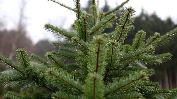 Allerhand aus'm Tyroler Land: Christbäume