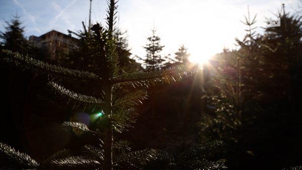 Christbäume aus den heimischen Wäldern