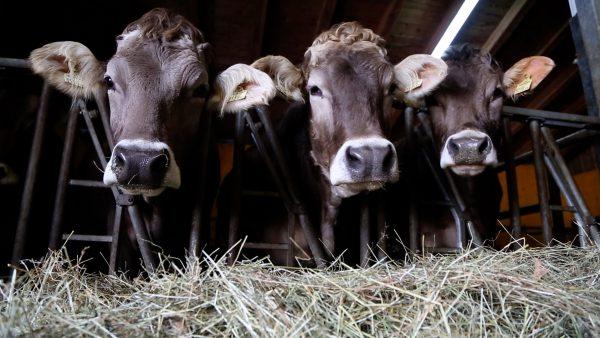 Über Kuh und Kalb dazulernen