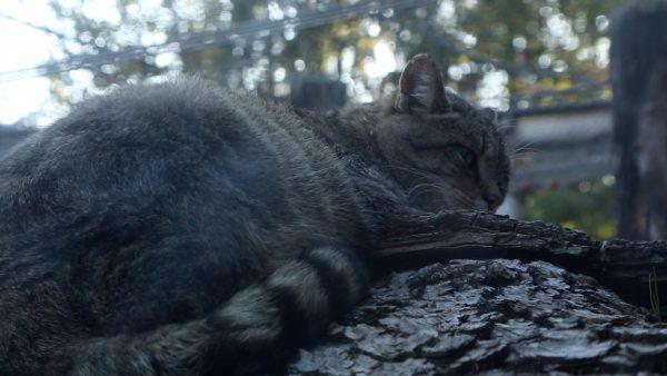 Wildkätzchen im Alpenzoo gestorben