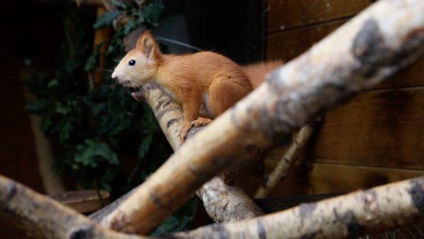 Eichhörnchenzüchter in Rietz
