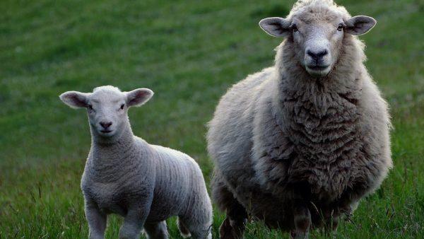 Frühzeitiger Schafabtrieb in Navis