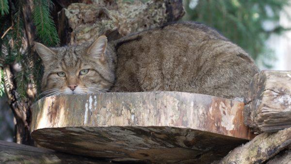 Gesellschaft für die Wildkatze