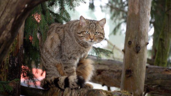Wildkatzentaufe: Name für neuen Wildkater