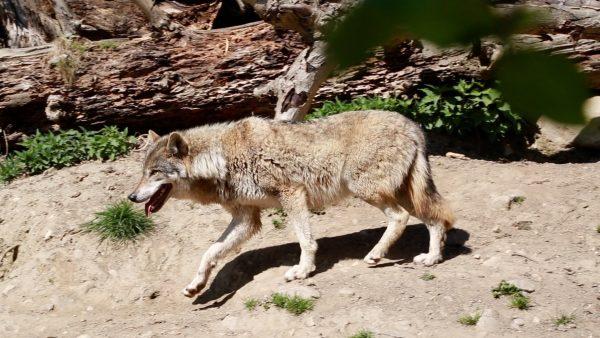 Die Angst vor dem Wolf ist groß