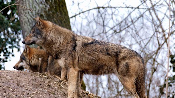 Wolf, Bär und Co.